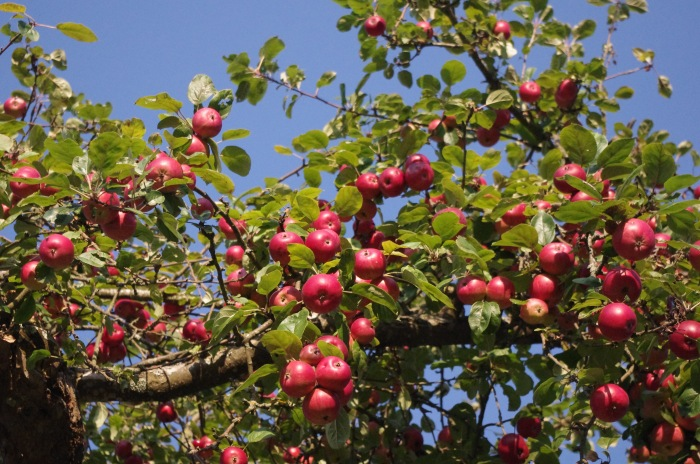 2016-9-apple-tree